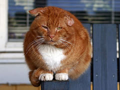 Obese and fat domestic animals